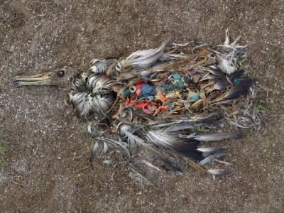 albatros muerto lleno de plástico