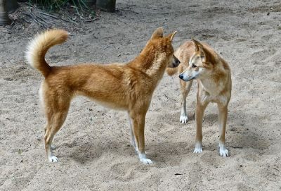 dingos australianos